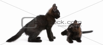 Portrait of black kittens