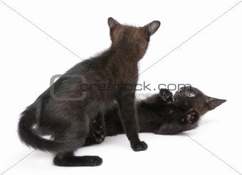 Portrait of black kittens