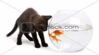 Black kitten looking at Goldfish