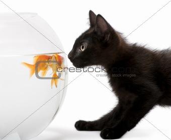 Black kitten looking at Goldfish