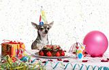 Chihuahua at table wearing birthday hat