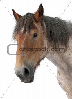 Brabancon horse