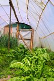 Home garden chard vegetables greenhouse