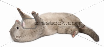 American Mink, Neovison Vison, 3 months old, lying in front of white background