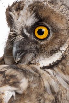 Eurasian Scops-owl, Otus scops, 2 months old, in front of white background