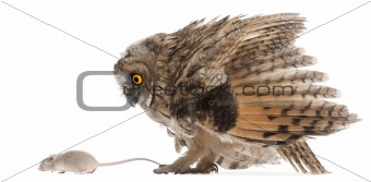 Eurasian Scops-owl looking at a mouse, Otus scops, 2 months old, in front of white background