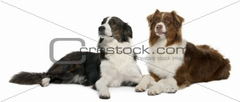 Pair of mixed-breed dogs in front of white background
