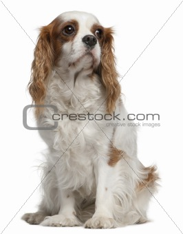 Cavalier king Charles spaniel, 4 years old, sitting in front of white background