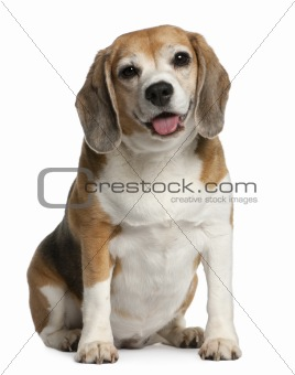 Beagle, 7 years old, sitting in front of white background