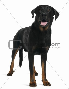 Beauceron, 5 years old, standing in front of white background