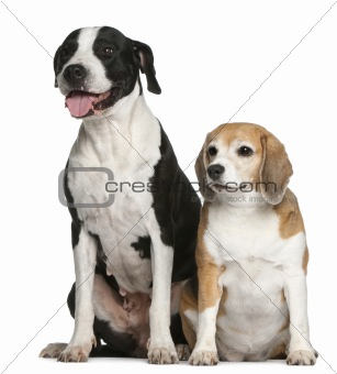 Argentine dogs and a beagle, sitting in front of white background