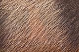 Closeup of pig skin and hair