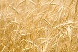 Infinite field of ripe wheat
