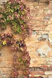 The blank wall of old building with wild vine. It is autumn