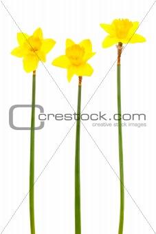 Beautiful yellow narcissus
