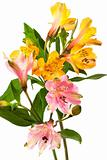 orange and pink alstroemeria