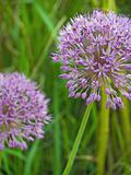 Purple Allium Flowers Growing in a Sunny Garden