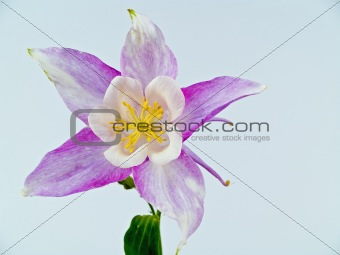 Blooming Columbine Flowers Before a Blank White Background
