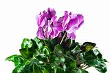 cyclamen pink mottled