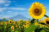 Sunflower IV