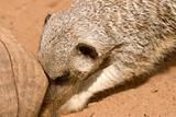 meerkat digging