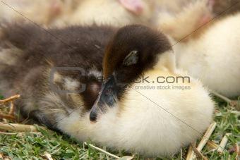 sleeping duckling