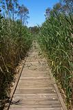 boardwalk in reeds