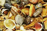 Sea Shells