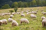 pack of sheeps