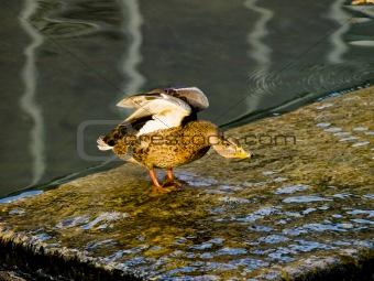 Posing duck
