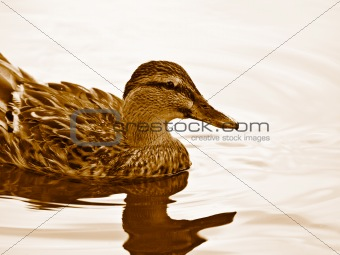 Duck - close up