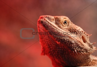 Bearded Dragon Portrait (Agaminae Pogona)