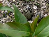 Killdeer eggs.