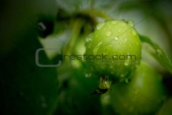 Green Crabapple 2
