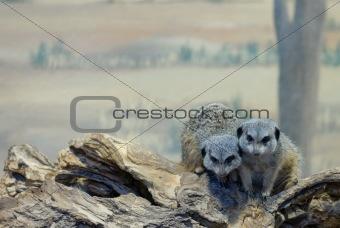 Slender-Tailed Meerkats on Log (Suricata suricatta)