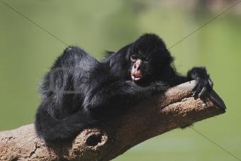 Black-faced Spider Monkey