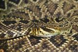 Eastern Diamondback Rattlesnake