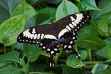 Emperor Swallowtail