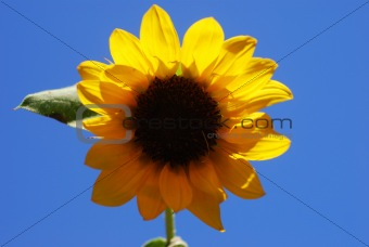 Miniature Sunflower