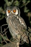 whitefaced owl