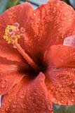 hibiscus flower after rain