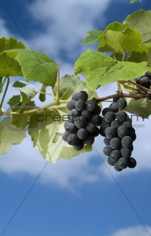 black grapes on vine against cloudy blue sky