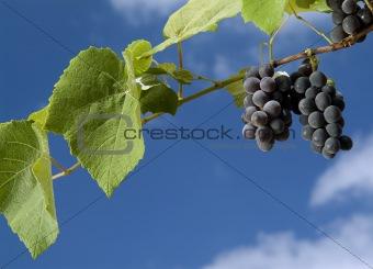 black grapes on vine against cloudy blue sky