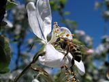 flower apple