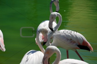 Bright colored elegant flamingo with her head on her back