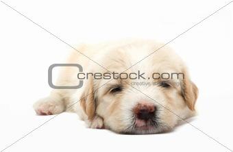 lazy  puppy