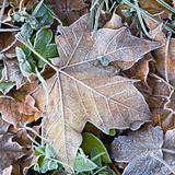 hoarfrost on dead plane leaf
