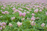 field of flowering potato plants