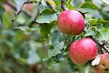 Apple Orchard Branch With Fruits