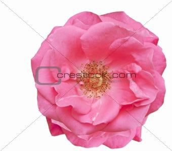 pink rose blossom spring flower